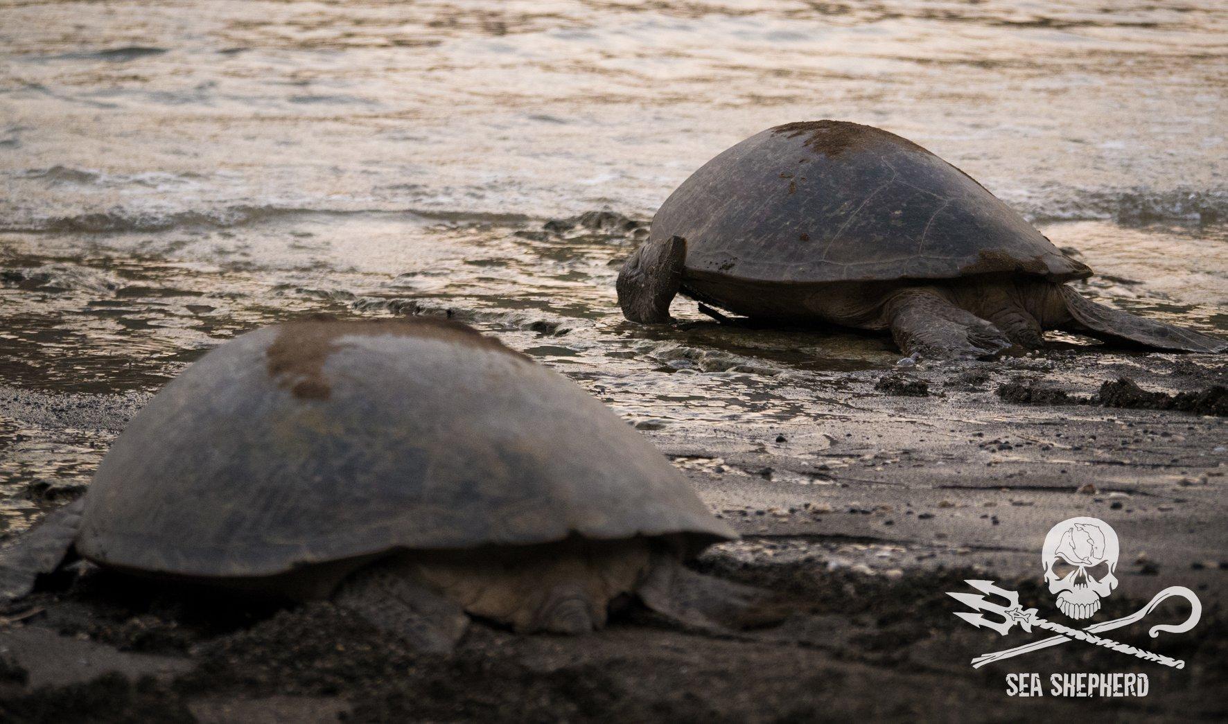 Deux tortues prennent le large