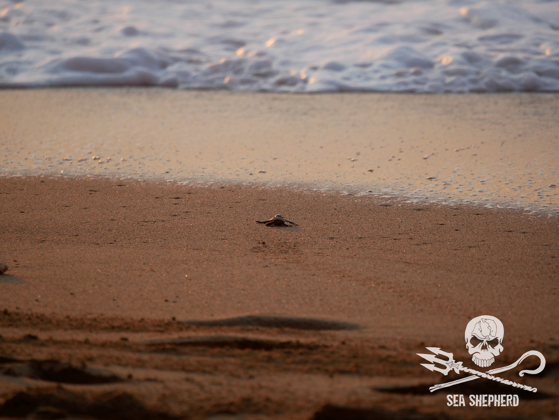 Un bébé tortue se dirige vers le large